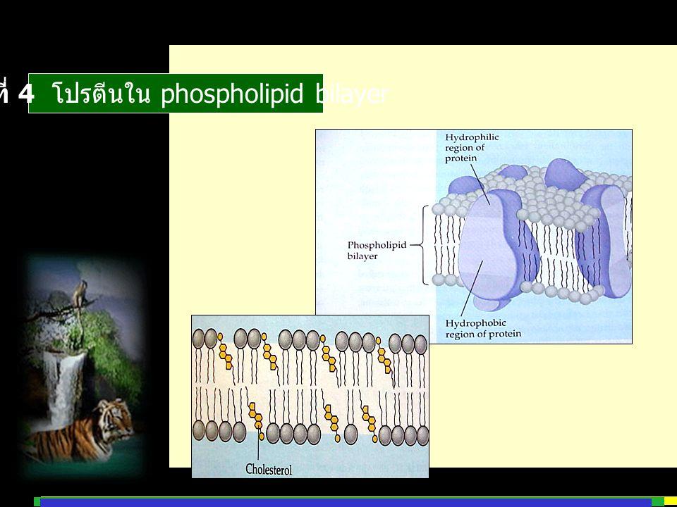 รูปที่ 4 โปรตีนใน phospholipid bilayer