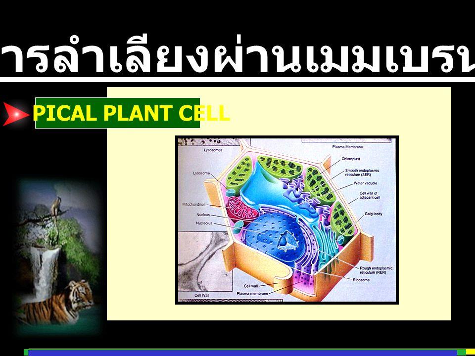 การลำเลียงผ่านเมมเบรน TYPICAL PLANT CELL