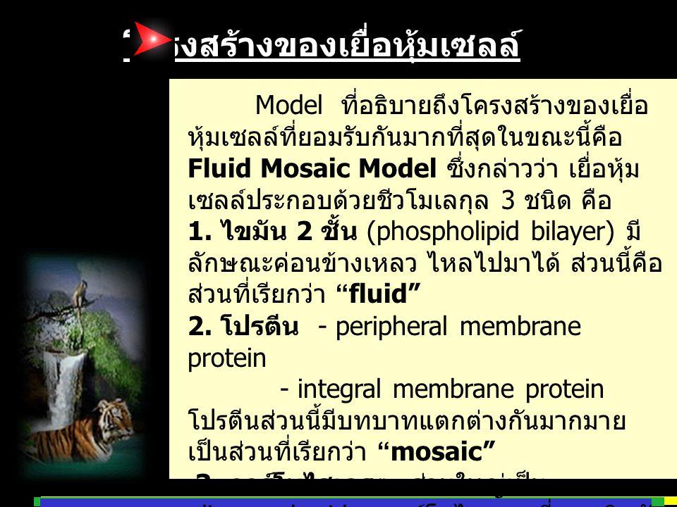 โครงสร้างของเยื่อหุ้มเซลล์ Model ที่อธิบายถึงโครงสร้างของเยื่อ หุ้มเซลล์ที่ยอมรับกันมากที่สุดในขณะนี้คือ Fluid Mosaic Model ซึ่งกล่าวว่า เยื่อหุ้ม เซล