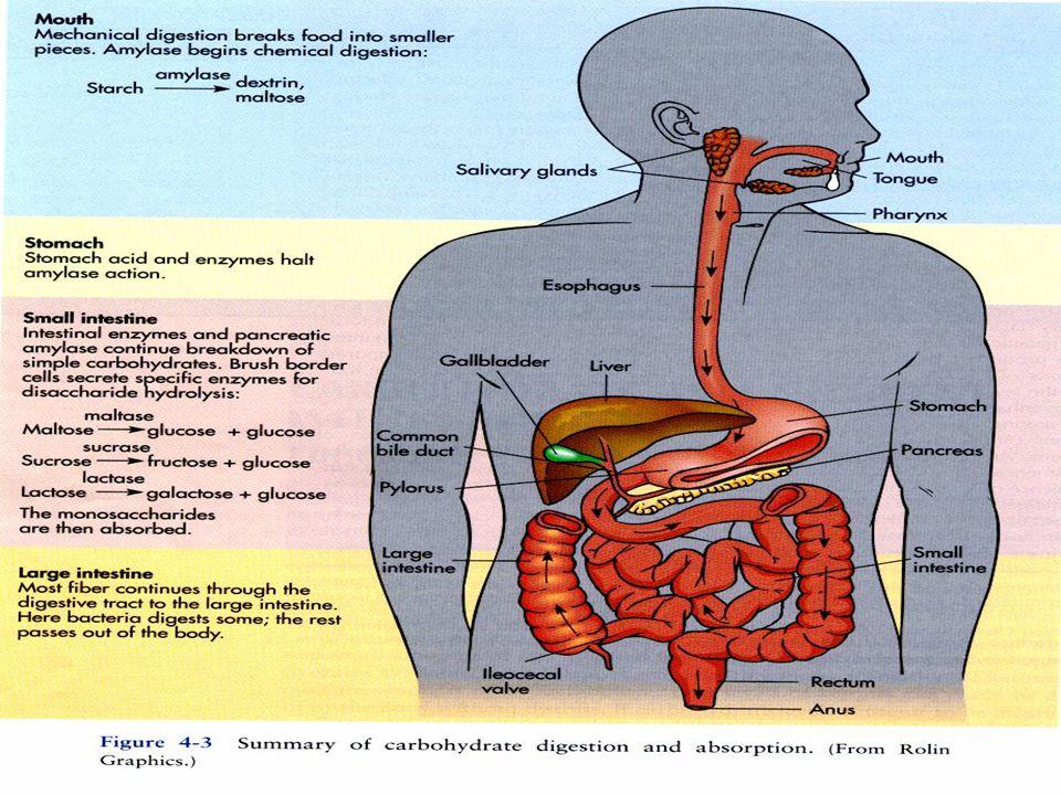 Polysaccharides Homopolysaccharides –แ–แป้ง (starch) –ไ–ไกลโคเจน (glycogen) : ตับ กล้ามเนื้อ –เ–เซลลูโลส (cellulose) :ปุยฝ้าย –ไ–ไคติน (chitin) : เปลือกกุ้ง-ปู Heteropolysaccharides –p–peptidoglycan : ในแบคทีเรีย –g–glycoaminoglycan : ในข้อกระดูก
