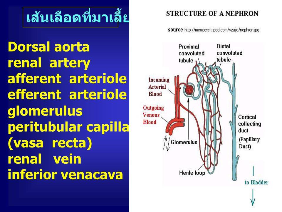 เส้นเลือดที่มาเลี้ยงไต Dorsal aorta renal artery afferent arteriole ( เข้าไต ) efferent arteriole ( ออกจากไต ) glomerulus peritubular capillaries (vas