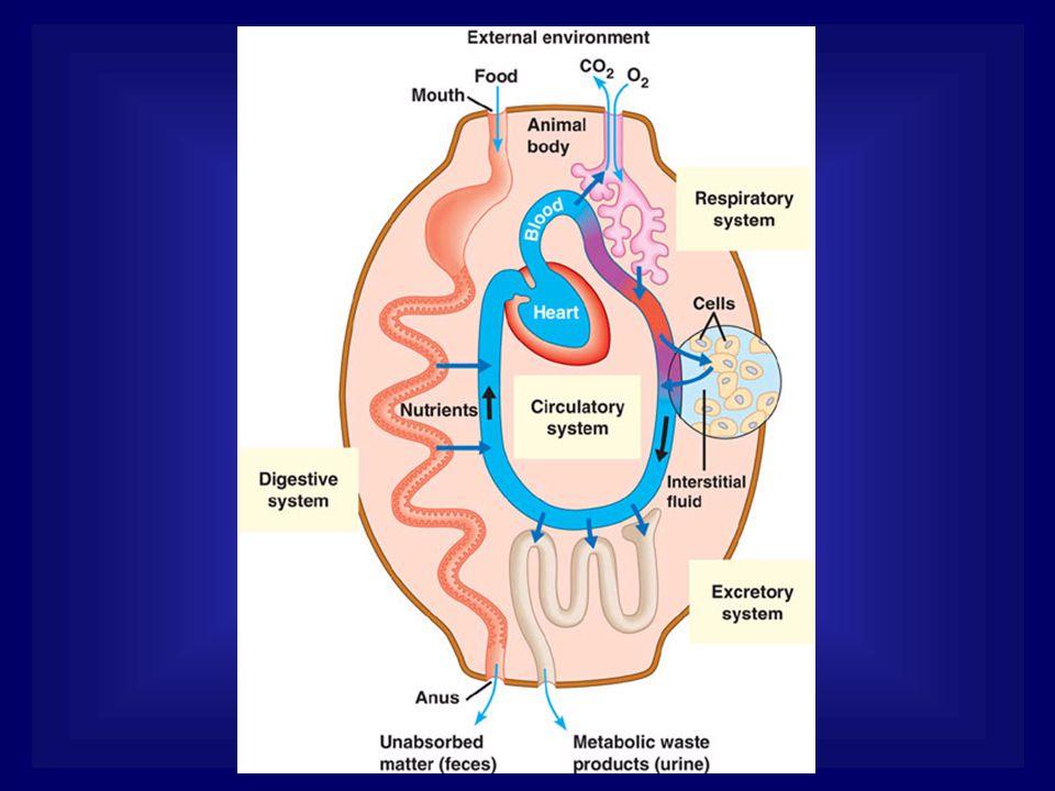 เสียเลือด เลือดกลับเข้าหัวใจลดลง Stretch receptor - ที่ เอเตรียม - ผนังหลอดเลือดแดง ดำใหญ่ในปอด - เส้นเลือดที่ไต Hypothalamus ADH เพิ่มขึ้น เพิ่มการดูดกลับน้ำที่ท่อหน่วยไต