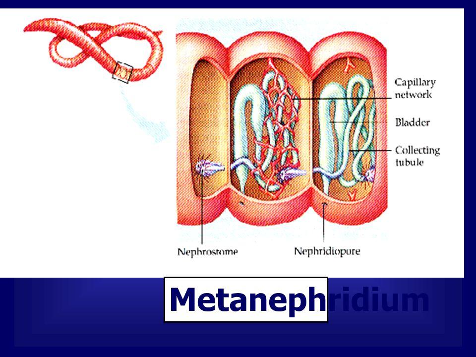 การรักษาความเข้มข้นของน้ำนอกเซลล์