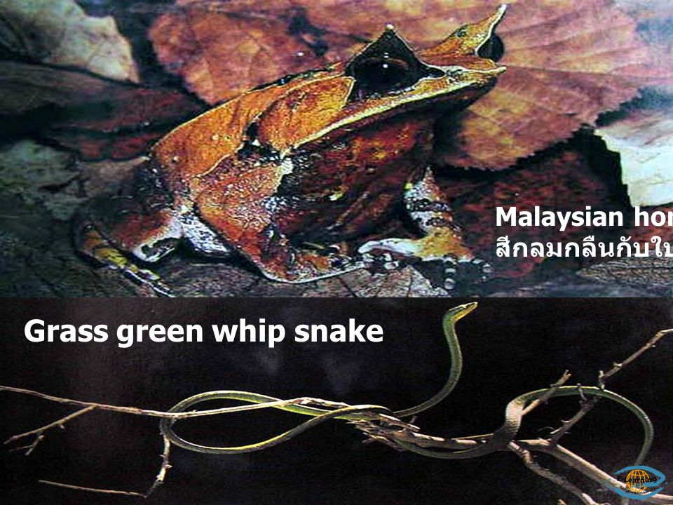Malaysian horned frog สีกลมกลืนกับใบไม้แห้ง Grass green whip snake