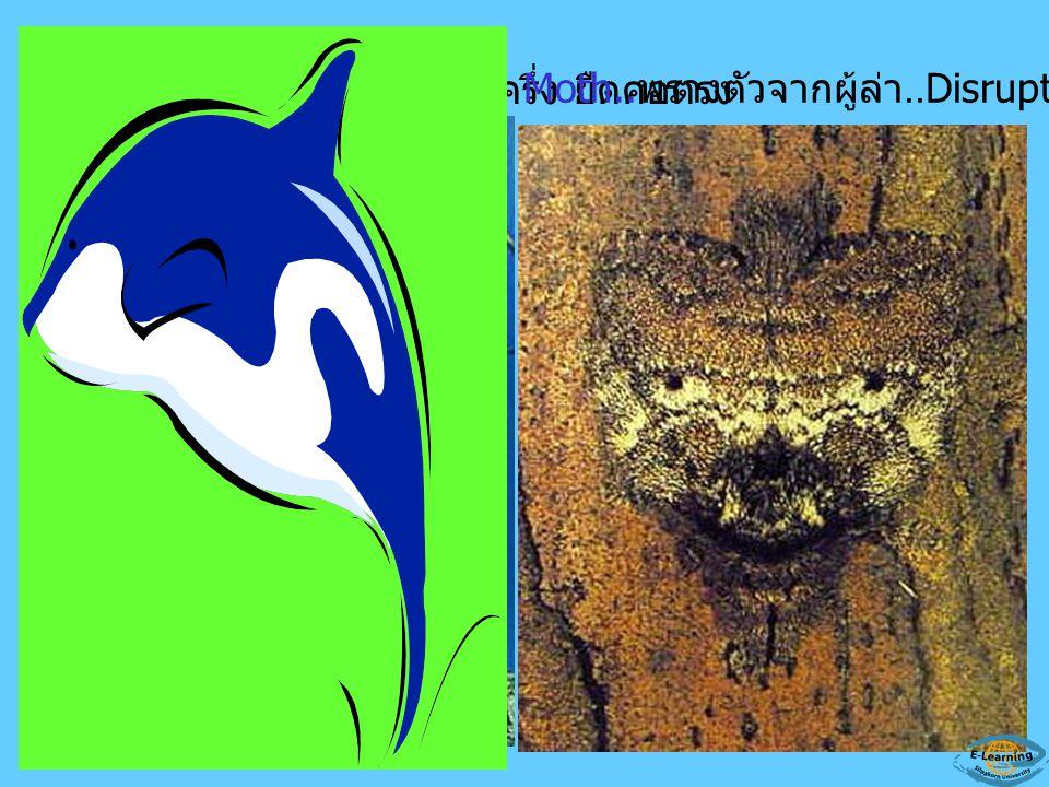 Potoo bird.. เปิดตาเพียงครึ่ง ยืดคอตรง Moth.. พรางตัวจากผู้ล่า..Disruptive coloration