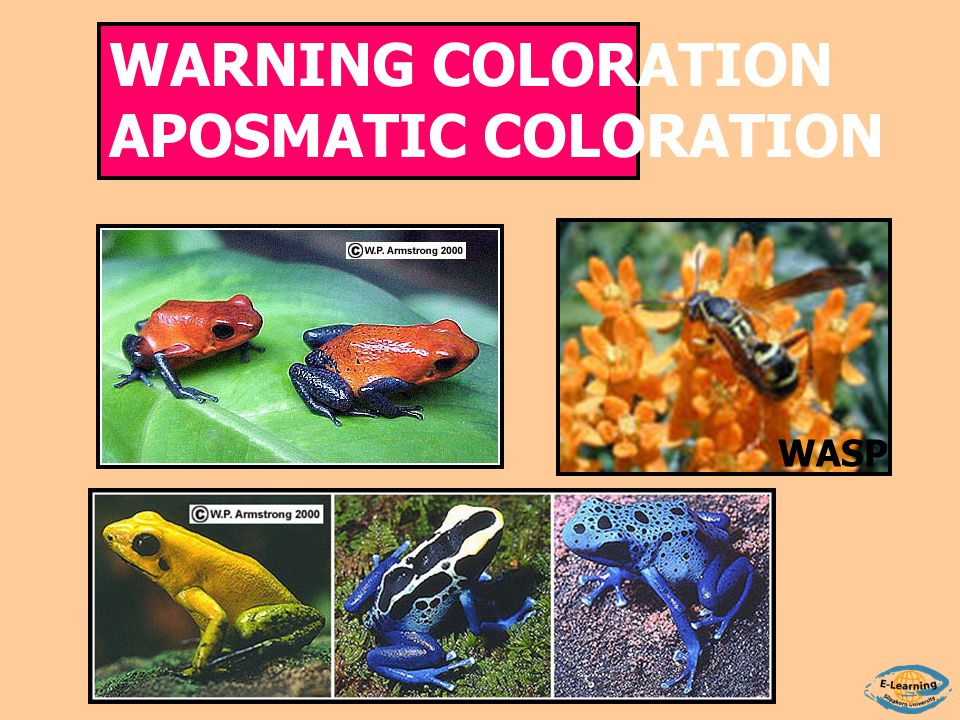 WARNING COLORATION APOSMATIC COLORATION WASP