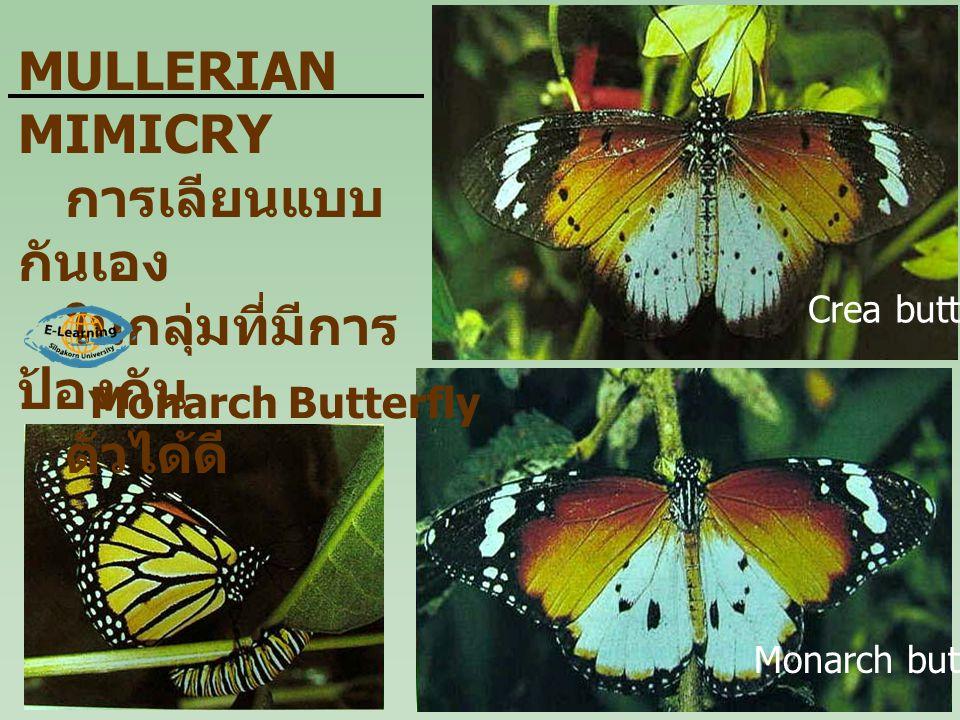 Monarch Butterfly MULLERIAN MIMICRY การเลียนแบบ กันเอง ในกลุ่มที่มีการ ป้องกัน ตัวได้ดี Crea butterfly Monarch butterfly