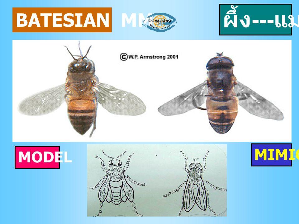 BATESIAN MM. ผึ้ง --- แมลง MODEL MIMIC