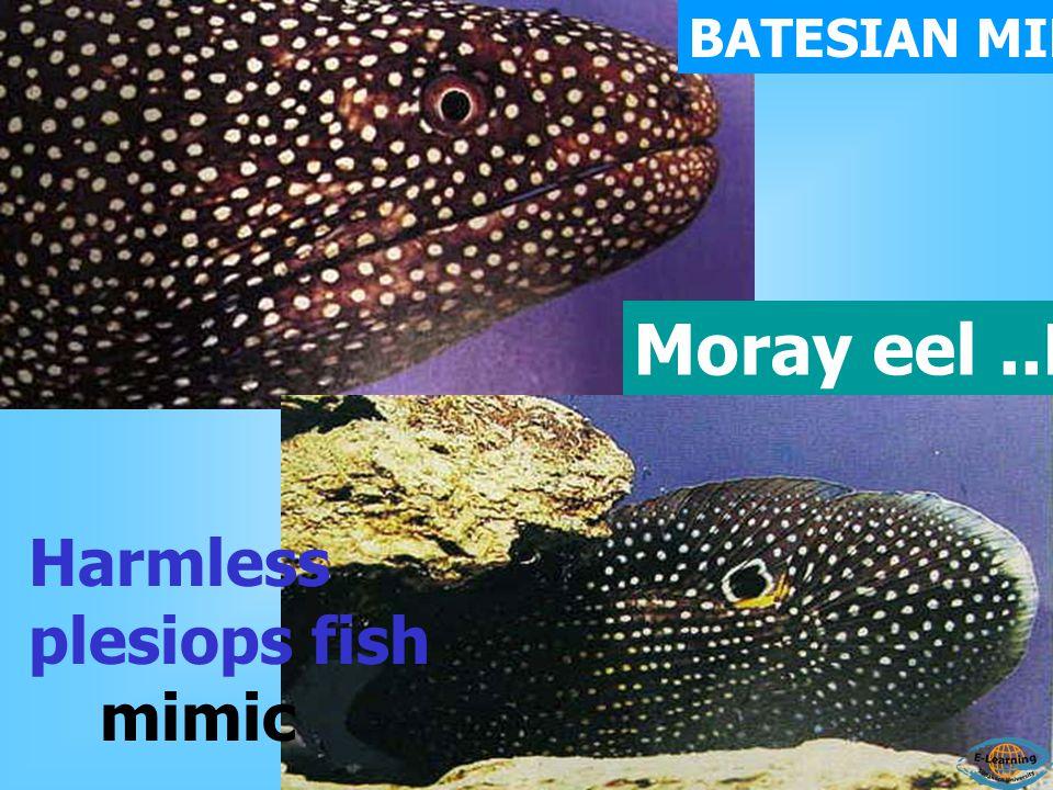 Moray eel..MODEL Harmless plesiops fish mimic BATESIAN MIMICRY