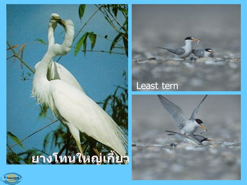 ยางโทนใหญ่เกี้ยว Least tern