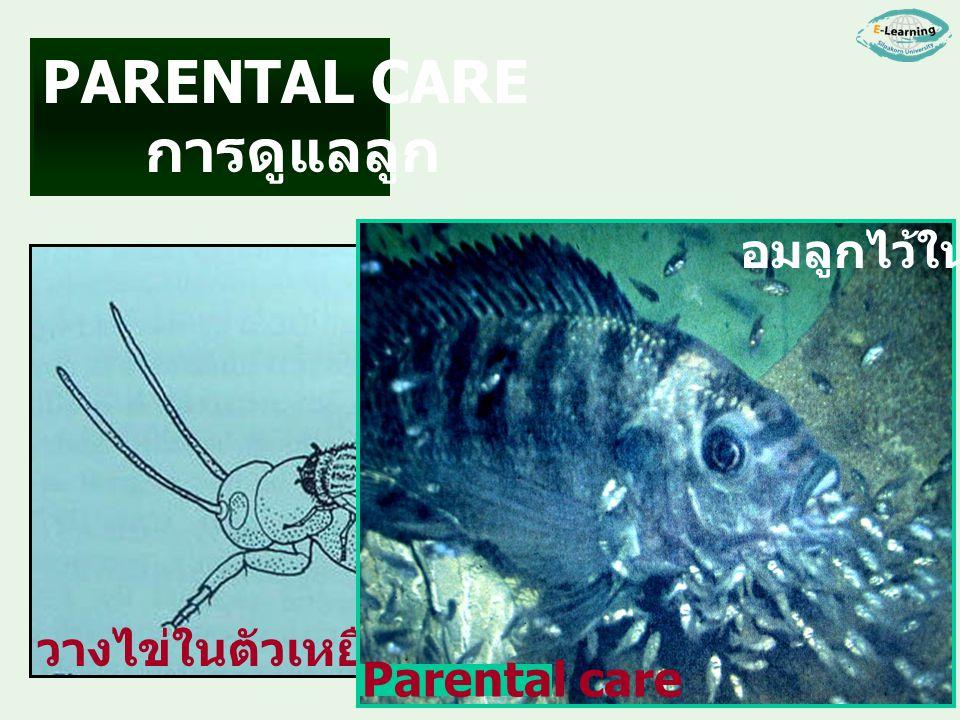 การดูแลลูก วางไข่ในตัวเหยื่อ Parental care อมลูกไว้ในปาก