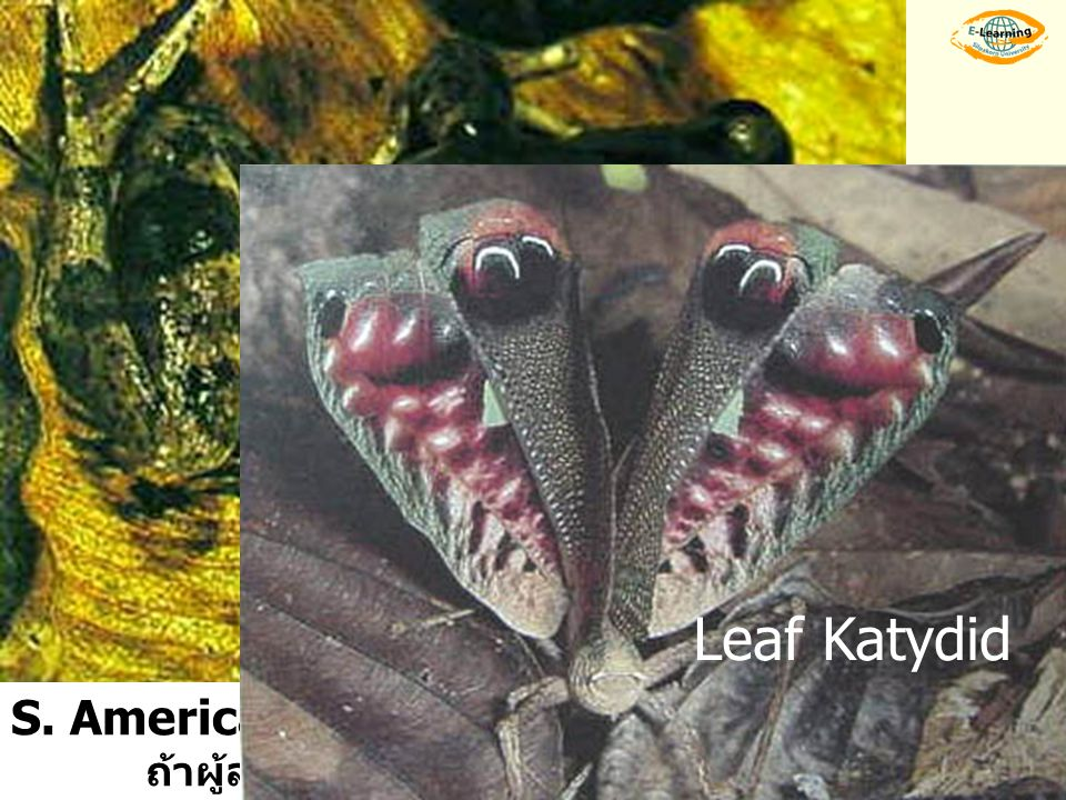 S. American frog จะพองตัวเพื่อให้เห็นตาหลอก …… ผู้ล่าตกใจ ถ้าผู้ล่าจะโจมตีอีก จะปล่อยสารเหม็นจาก false eyes Leaf Katydid