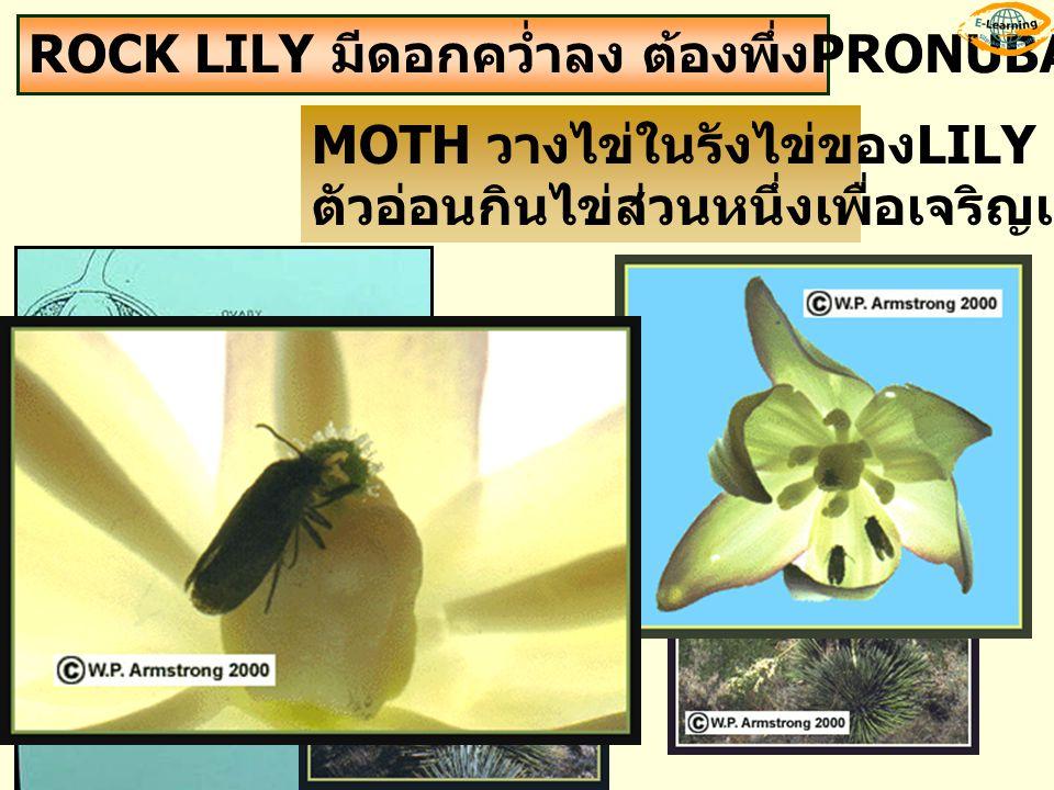 ROCK LILY มีดอกคว่ำลง ต้องพึ่ง PRONUBA MOTH MOTH วางไข่ในรังไข่ของ LILY ตัวอ่อนกินไข่ส่วนหนึ่งเพื่อเจริญเติบโต