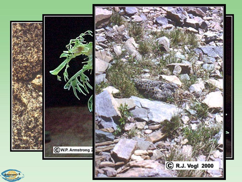 CAMOUFLAGE Pebble plants โครงสร้างคล้ายหิน Woodcock มีสีกลืนกับสิ่งแวดล้อม