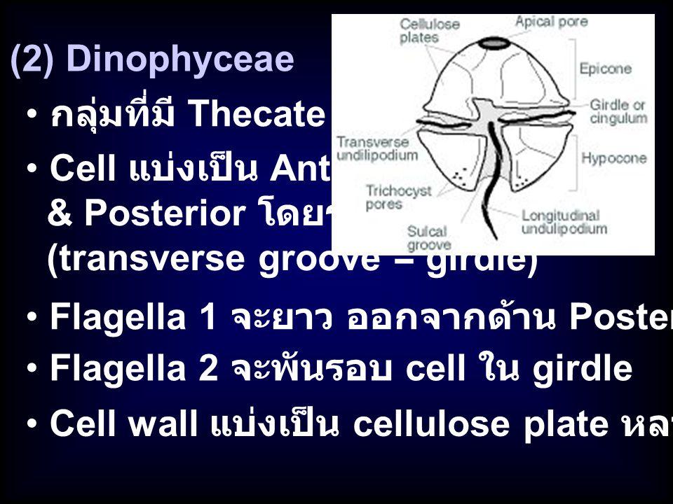 (2) Dinophyceae Cell แบ่งเป็น Anterior & Posterior โดยร่อง (transverse groove = girdle) กลุ่มที่มี Thecate Flagella 2 จะพันรอบ cell ใน girdle Flagella