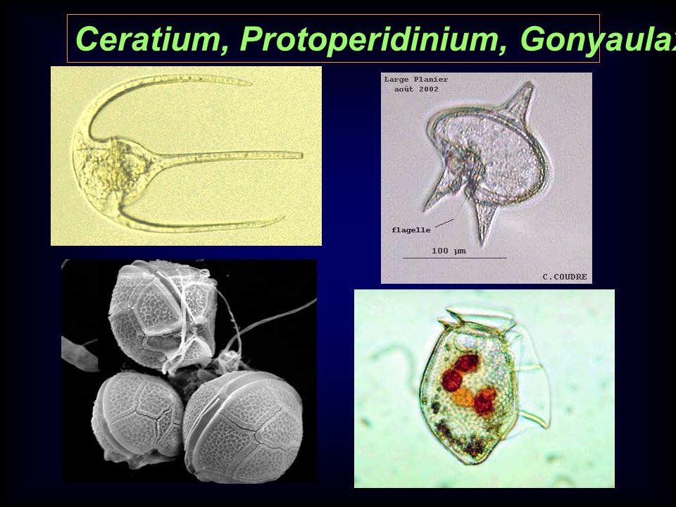 Ceratium, Protoperidinium, Gonyaulax, and Dinophysis