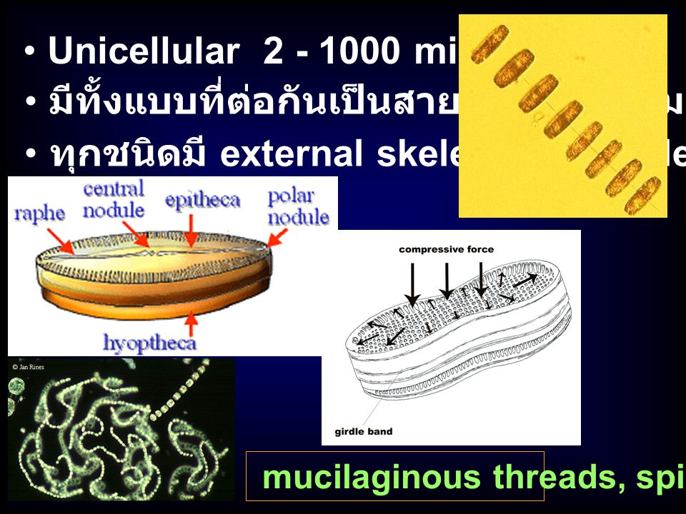 Unicellular 2 - 1000 micron ทุกชนิดมี external skeleton (frustules) มีทั้งแบบที่ต่อกันเป็นสายหรือเกาะกลุ่ม mucilaginous threads, spines