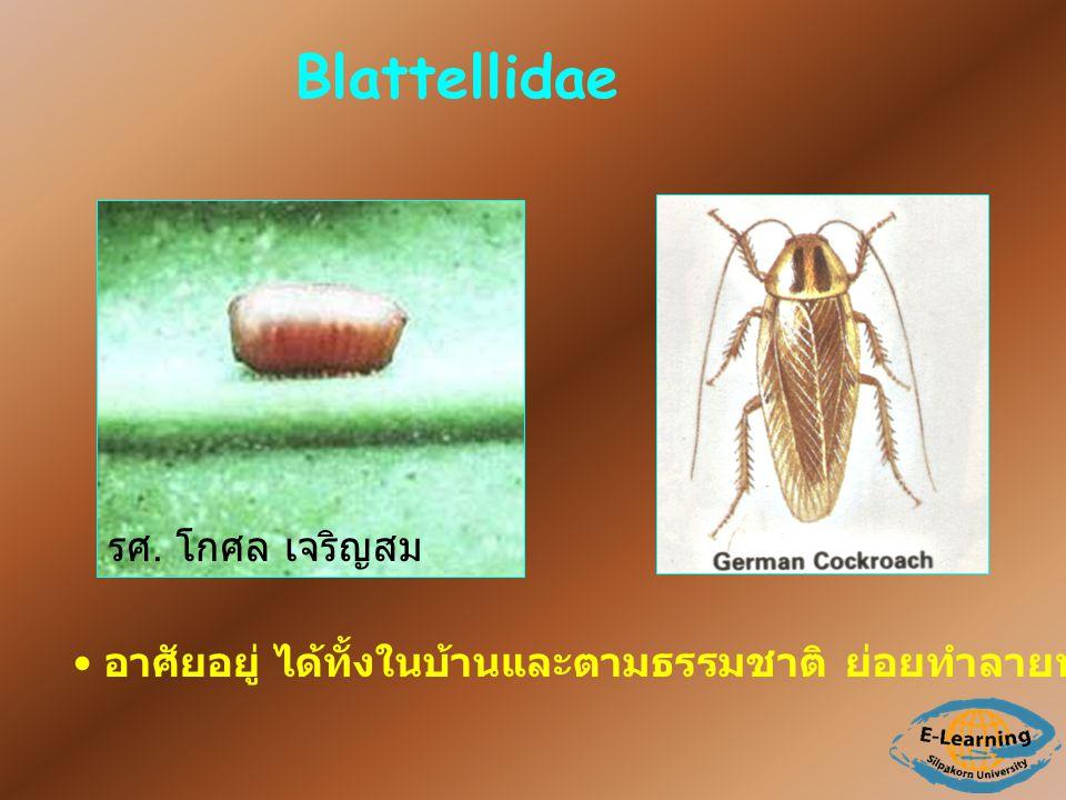 Blattellidae อาศัยอยู่ ได้ทั้งในบ้านและตามธรรมชาติ ย่อยทำลายท่อนไม้ เป็น scavenger รศ. โกศล เจริญสม