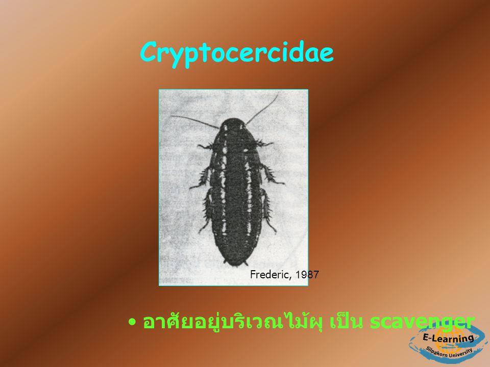 Cryptocercidae อาศัยอยู่บริเวณไม้ผุ เป็น scavenger Frederic, 1987