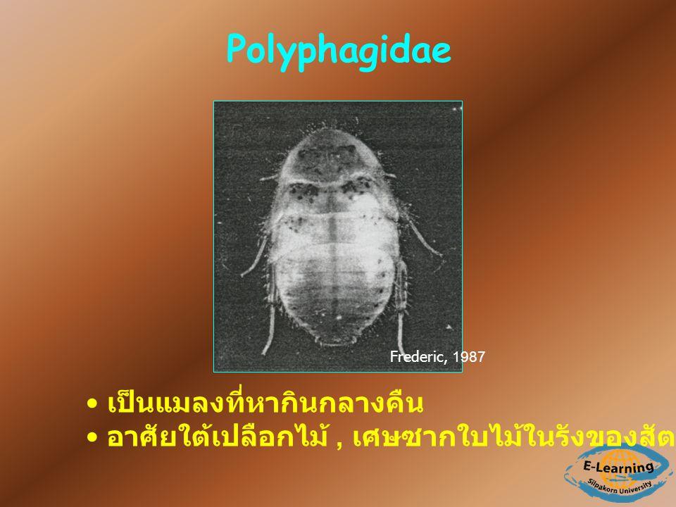 Polyphagidae เป็นแมลงที่หากินกลางคืน อาศัยใต้เปลือกไม้, เศษซากใบไม้ในรังของสัตว์เล็กๆ, ใต้ดิน Frederic, 1987