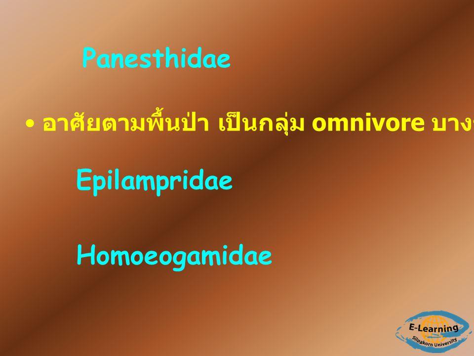 Panesthidae อาศัยตามพื้นป่า เป็นกลุ่ม omnivore บางชนิดเป็น scavenger Epilampridae Homoeogamidae