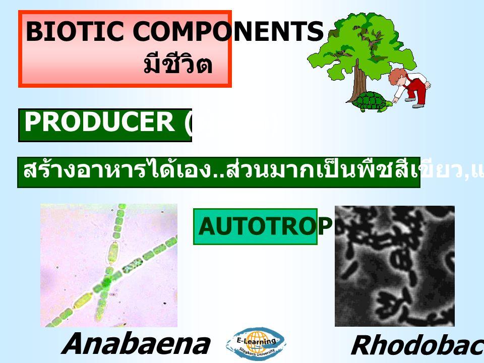 BIOTIC COMPONENTS มีชีวิต PRODUCER ( ผู้ผลิต ) AUTOTROPHS สร้างอาหารได้เอง.. ส่วนมากเป็นพืชสีเขียว, แบคทีเรียบางชนิด Anabaena Rhodobacter
