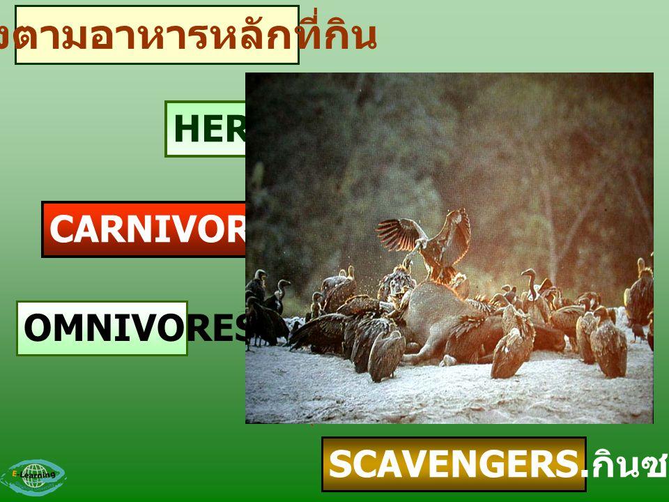 HERBIVORES.. กินพืช CARNIVORES.. กินสัตว์ OMNIVORES SCAVENGERS. กินซาก แบ่งตามอาหารหลักที่กิน