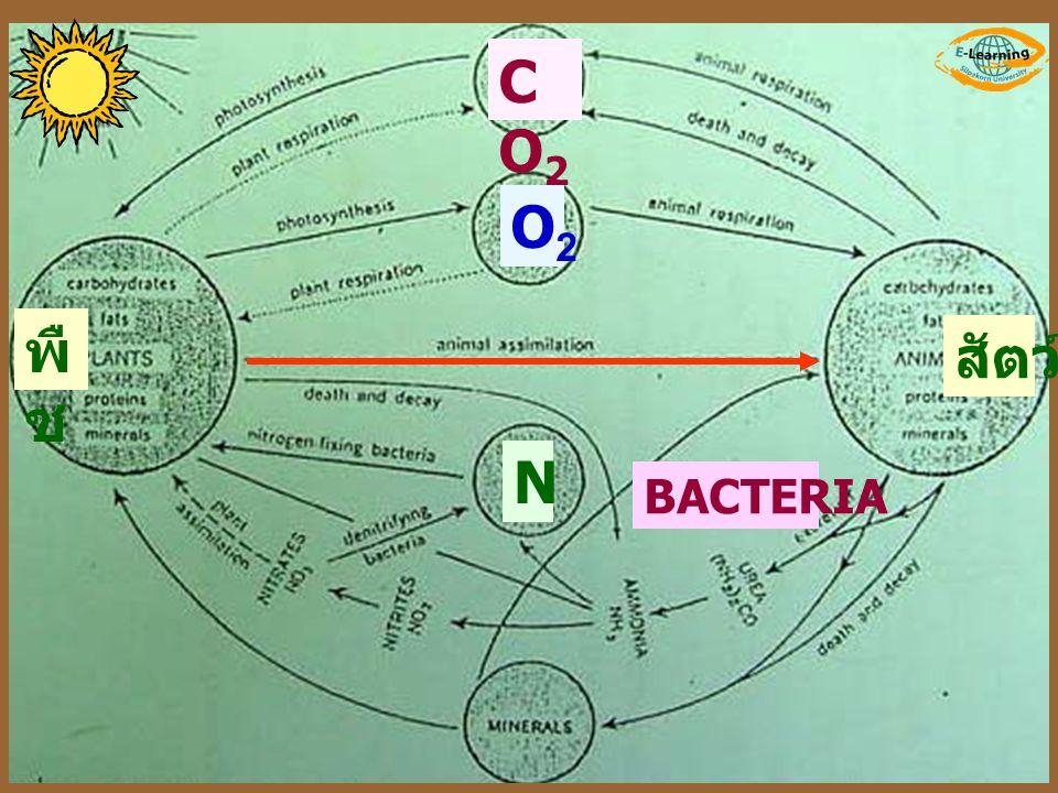 พื ช สัตว์ CO2CO2 O2O2 N BACTERIA