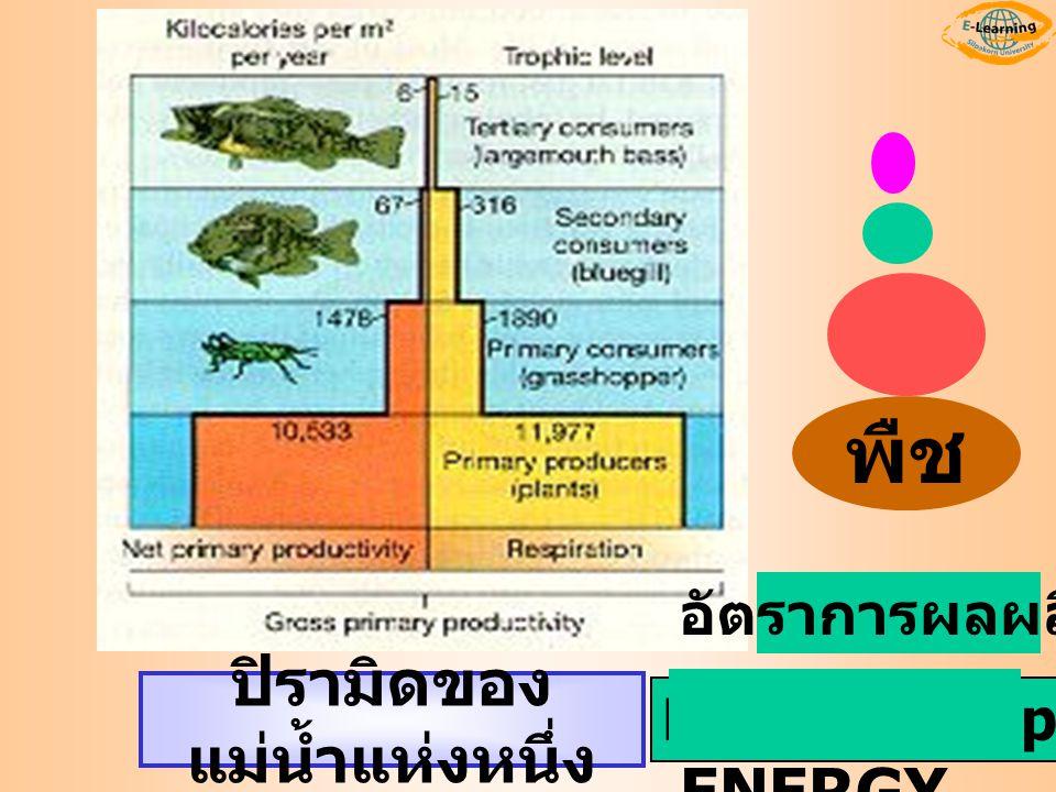 Kilocalories per meter 2 ENERGY ปิรามิดของ แม่น้ำแห่งหนึ่ง อัตราการผลผลิต พืช