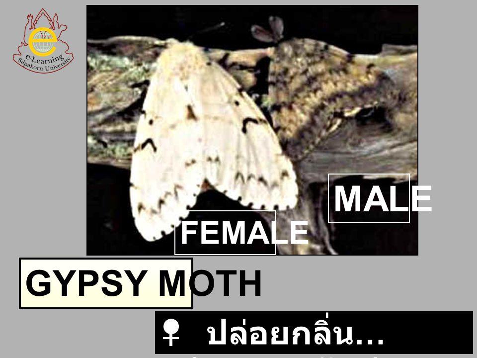GYPSY MOTH FEMALE MALE ปล่อยกลิ่น … พร้อมผสมพันธุ์