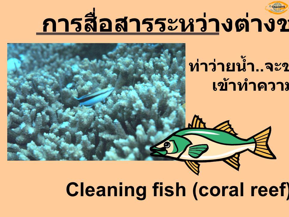 Cleaning fish (coral reef) การสื่อสารระหว่างต่างชนิด ท่าว่ายน้ำ.. จะขอ เข้าทำความสะอาด