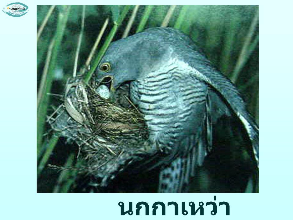 นกกาเหว่า