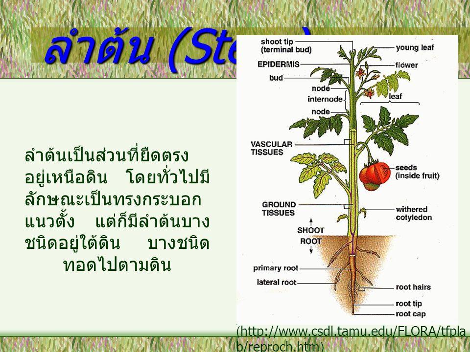 ลำต้น (Stem) ลำต้นเป็นส่วนที่ยืดตรง อยู่เหนือดิน โดยทั่วไปมี ลักษณะเป็นทรงกระบอก แนวตั้ง แต่ก็มีลำต้นบาง ชนิดอยู่ใต้ดิน บางชนิด ทอดไปตามดิน (http://ww