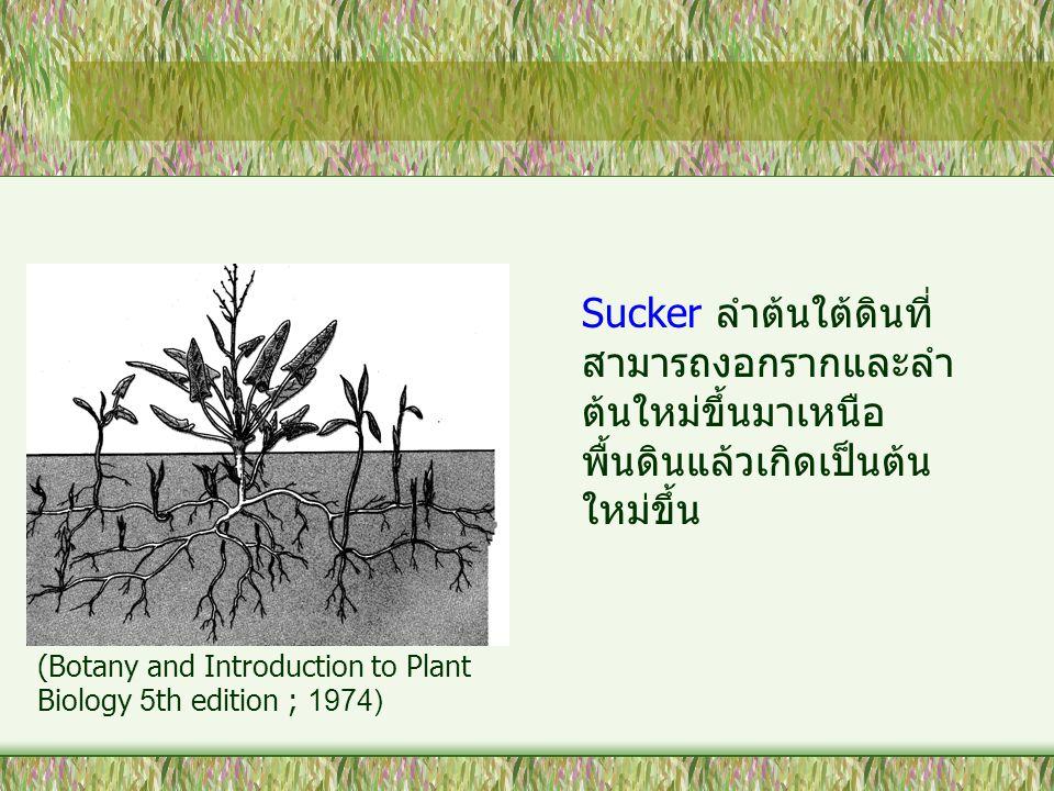 Sucker ลำต้นใต้ดินที่ สามารถงอกรากและลำ ต้นใหม่ขึ้นมาเหนือ พื้นดินแล้วเกิดเป็นต้น ใหม่ขึ้น (Botany and Introduction to Plant Biology 5th edition ; 197