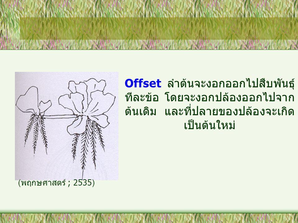 Offset ลำต้นจะงอกออกไปสืบพันธุ์ ทีละข้อ โดยจะงอกปล้องออกไปจาก ต้นเดิม และที่ปลายของปล้องจะเกิด เป็นต้นใหม่ ( พฤกษศาสตร์ ; 2535)