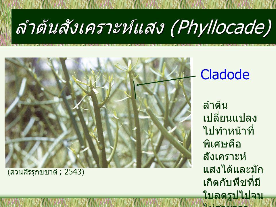 ลำต้นสังเคราะห์แสง (Phyllocade) Cladode ลำต้น เปลี่ยนแปลง ไปทำหน้าที่ พิเศษคือ สังเคราะห์ แสงได้และมัก เกิดกับพืชที่มี ใบลดรูปไปจน ไม่สามารถ สังเคราะห