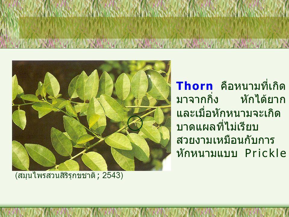 Thorn คือหนามที่เกิด มาจากกิ่ง หักได้ยาก และเมื่อหักหนามจะเกิด บาดแผลที่ไม่เรียบ สวยงามเหมือนกับการ หักหนามแบบ Prickle ( สมุนไพรสวนสิริรุกขชาติ ; 2543