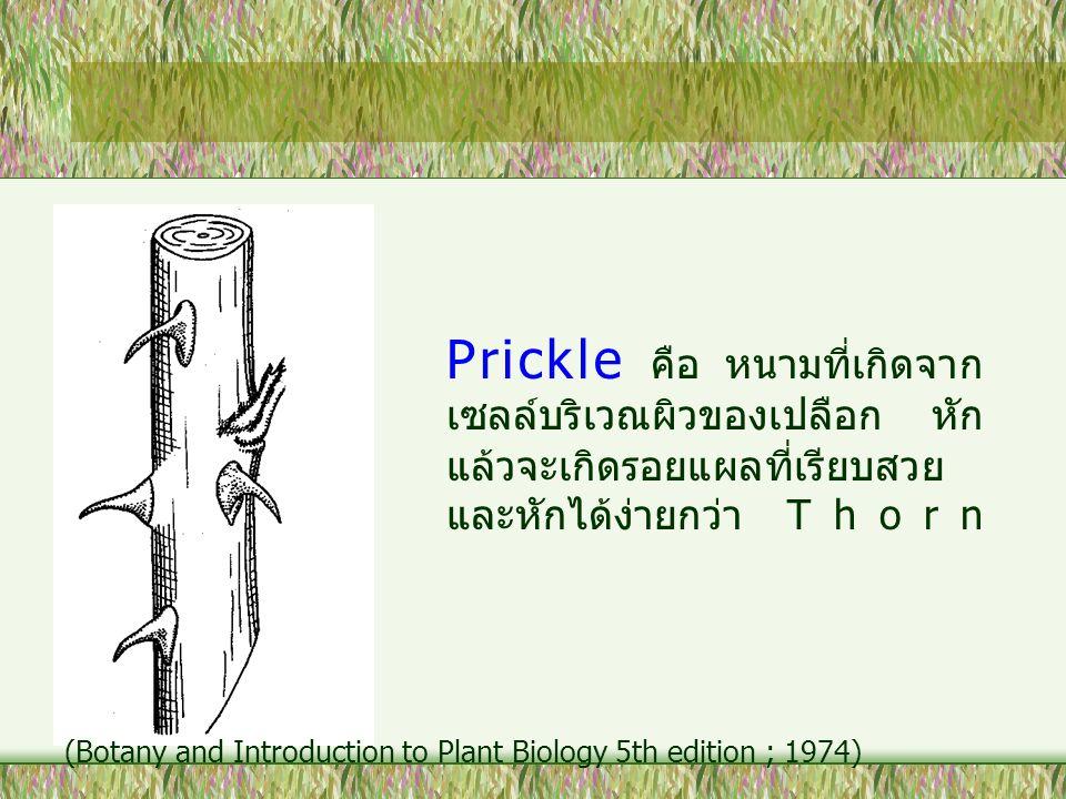Prickle คือ หนามที่เกิดจาก เซลล์บริเวณผิวของเปลือก หัก แล้วจะเกิดรอยแผลที่เรียบสวย และหักได้ง่ายกว่า Thorn (Botany and Introduction to Plant Biology 5