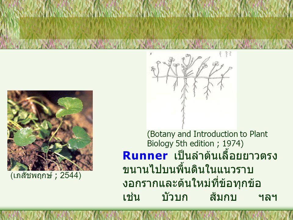 Runner เป็นลำต้นเลื้อยยาวตรง ขนานไปบนพื้นดินในแนวราบ งอกรากและต้นใหม่ที่ข้อทุกข้อ เช่น บัวบก ส้มกบ ฯลฯ ( เภสัชพฤกษ์ ; 2544) (Botany and Introduction t