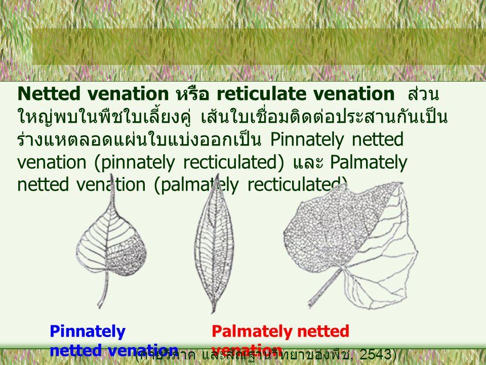 Netted venation หรือ reticulate venation ส่วน ใหญ่พบในพืชใบเลี้ยงคู่ เส้นใบเชื่อมติดต่อประสานกันเป็น ร่างแหตลอดแผ่นใบแบ่งออกเป็น Pinnately netted vena