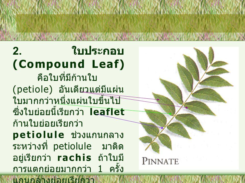 2. ใบประกอบ (Compound Leaf) คือใบที่มีก้านใบ (petiole) อันเดียวแต่มีแผ่น ใบมากกว่าหนึ่งแผ่นใบขึ้นไป ซึ่งใบย่อยนี้เรียกว่า leaflet ก้านใบย่อยเรียกว่า p