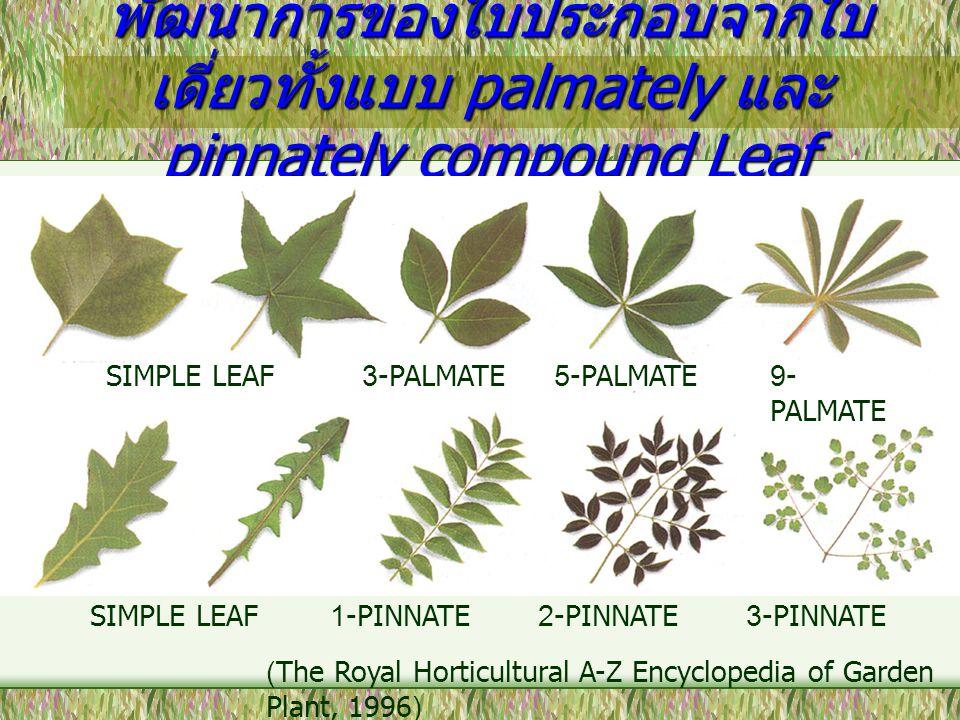 พัฒนาการของใบประกอบจากใบ เดี่ยวทั้งแบบ palmately และ pinnately compound Leaf SIMPLE LEAF1-PINNATE2-PINNATE3-PINNATE SIMPLE LEAF3-PALMATE5-PALMATE9- PA