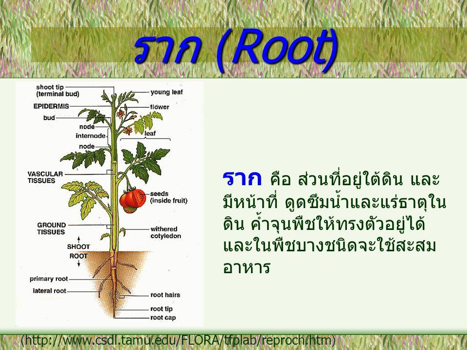 ราก (Root) ราก คือ ส่วนที่อยู่ใต้ดิน และ มีหน้าที่ ดูดซึมน้ำและแร่ธาตุใน ดิน ค้ำจุนพืชให้ทรงตัวอยู่ได้ และในพืชบางชนิดจะใช้สะสม อาหาร (http://www.csdl