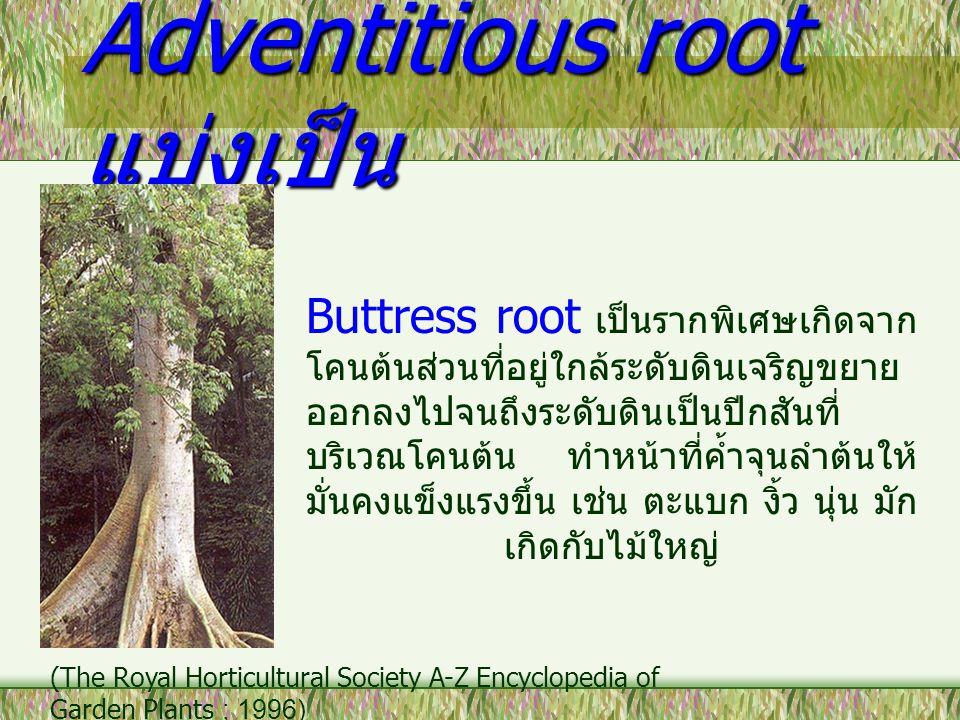 Adventitious root แบ่งเป็น Buttress root เป็นรากพิเศษเกิดจาก โคนต้นส่วนที่อยู่ใกล้ระดับดินเจริญขยาย ออกลงไปจนถึงระดับดินเป็นปีกสันที่ บริเวณโคนต้น ทำห