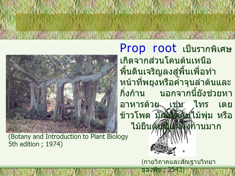 Prop root เป็นรากพิเศษ เกิดจากส่วนโคนต้นเหนือ พื้นดินเจริญลงสู่พื้นเพื่อทำ หน้าที่พยุงหรือค้ำจุนลำต้นและ กิ่งก้าน นอกจากนี้ยังช่วยหา อาหารด้วย เช่น ไท