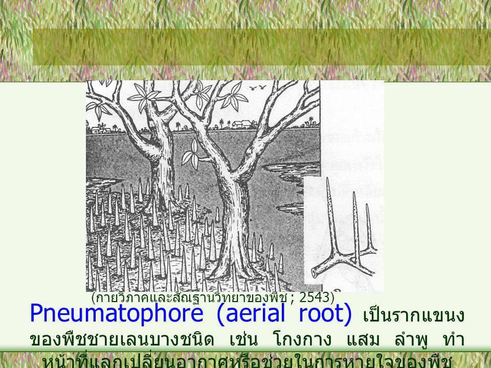 Pneumatophore (aerial root) เป็นรากแขนง ของพืชชายเลนบางชนิด เช่น โกงกาง แสม ลำพู ทำ หน้าที่แลกเปลี่ยนอากาศหรือช่วยในการหายใจของพืช ( กายวิภาคและสัณฐาน