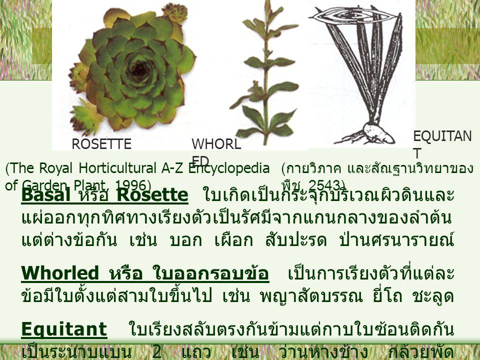 EQUITAN T ROSETTEWHORL ED Basal หรือ Rosette ใบเกิดเป็นกระจุกบริเวณผิวดินและ แผ่ออกทุกทิศทางเรียงตัวเป็นรัศมีจากแกนกลางของลำต้น แต่ต่างข้อกัน เช่น บอก เผือก สับปะรด ป่านศรนารายณ์ Whorled หรือ ใบออกรอบข้อ เป็นการเรียงตัวที่แต่ละ ข้อมีใบตั้งแต่สามใบขึ้นไป เช่น พญาสัตบรรณ ยี่โถ ชะลูด Equitant ใบเรียงสลับตรงกันข้ามแต่กาบใบซ้อนติดกัน เป็นระนาบแบน 2 แถว เช่น ว่านหางช้าง กล้วยพัด (The Royal Horticultural A-Z Encyclopedia of Garden Plant, 1996) ( กายวิภาค และสัณฐานวิทยาของ พืช, 2543)