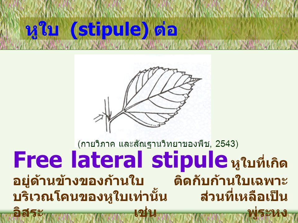 หูใบ (stipule) ต่อ Adnate stipule คือ หูใบติด กับก้านใบเป็นเนื้อเดียวกัน เช่น กุหลาบ เป็นเนื้อเดียวกัน เช่น กุหลาบ ( กายวิภาค และสัณฐานวิทยาของพืช, 2543)