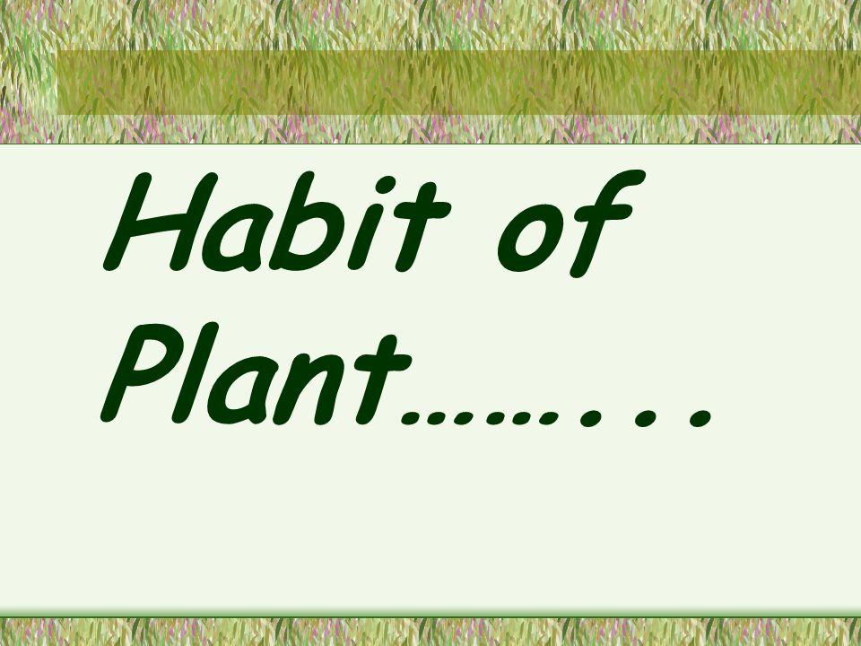 Herb ( ไม้ล้มลุก ) ไม้ล้มลุก (herb) ลำ ต้นเป็นไม้เนื้ออ่อน เมื่อโต เต็มที่แล้วสูงไม่เกิน 4 ฟุต (The Royal Horticultural Society A-Z Encyclopedia of Garden Plants ; 1996)