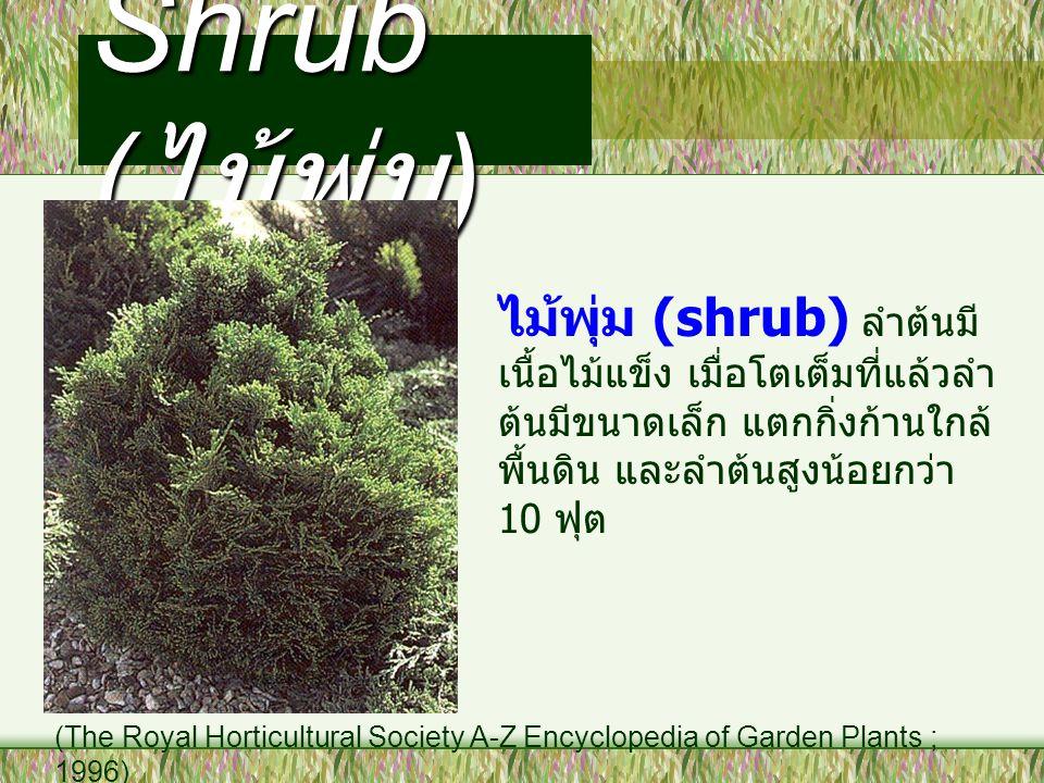 Shrub ( ไม้พุ่ม ) ไม้พุ่ม (shrub) ลำต้นมี เนื้อไม้แข็ง เมื่อโตเต็มที่แล้วลำ ต้นมีขนาดเล็ก แตกกิ่งก้านใกล้ พื้นดิน และลำต้นสูงน้อยกว่า 10 ฟุต (The Roya
